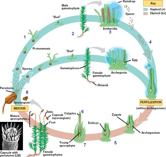 a diagram of an atom of chromium moss cycle html 29 08mosslifecycle jpg