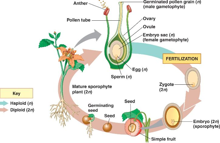 Angiosperm on Describe The Life Cycle Of A Plant
