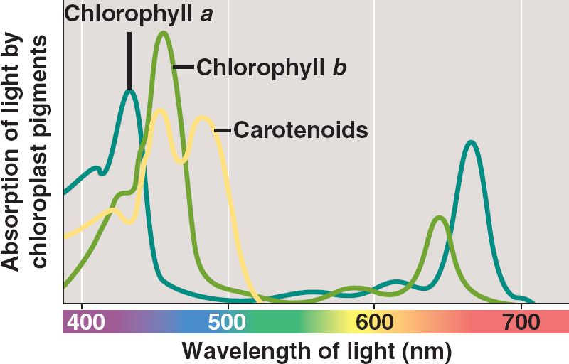 """a level biolody lab photosynthetic pigments Biology lab 8: photosynthesis where  (ie, an electron is absorbed to a higher energy level 2  many photosynthetic pigments are """"lipid soluble"""",."""
