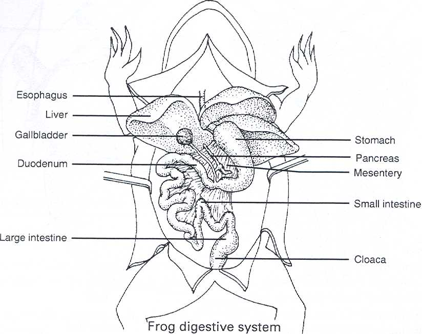 dissection of the frog