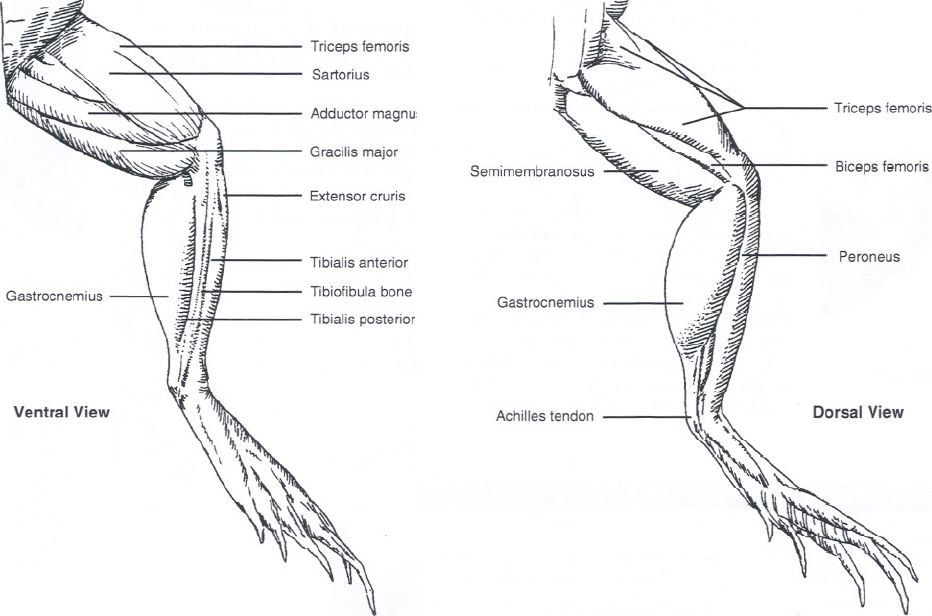 Frog Ventral Muscles Diagram - Wiring Library •