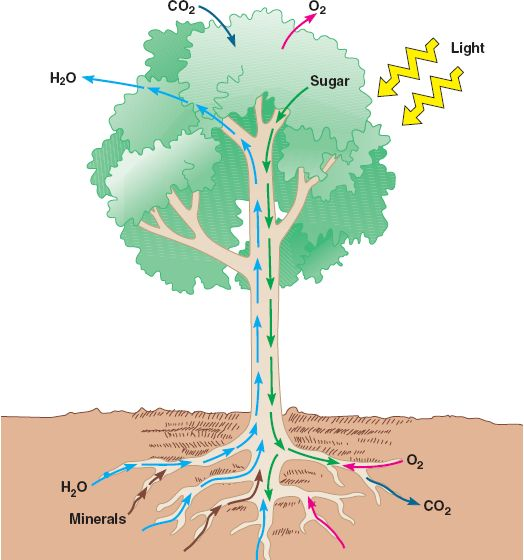 the transpiration process of materials in the xylem and phloem Xylem, phloem, and plant  a summary table of the factors affecting transpiration rate  a summary table comparing xylem and phloem.